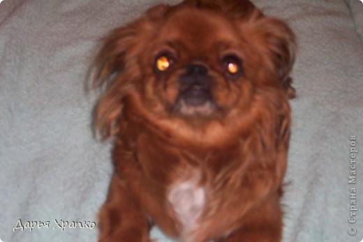 Это моя любимая собачка Чита! Ее порода японский хин. Я расскажу о ней поподробней. фото 1