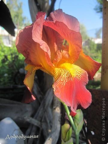 Поделюсь с вами красотой нашей дачи.... Жасмин в цвету. Ну и я рядом =) фото 3