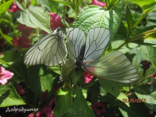 Поделюсь с вами красотой нашей дачи.... Жасмин в цвету. Ну и я рядом =) фото 22