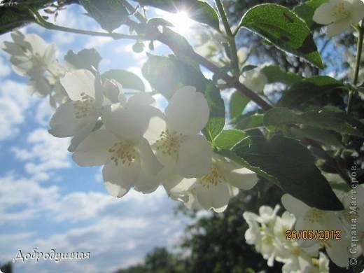 Поделюсь с вами красотой нашей дачи.... Жасмин в цвету. Ну и я рядом =) фото 2