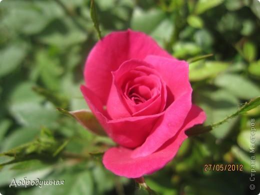 Поделюсь с вами красотой нашей дачи.... Жасмин в цвету. Ну и я рядом =) фото 11