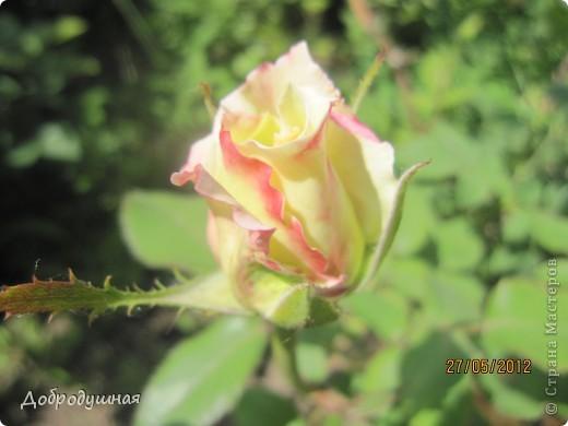 Поделюсь с вами красотой нашей дачи.... Жасмин в цвету. Ну и я рядом =) фото 13