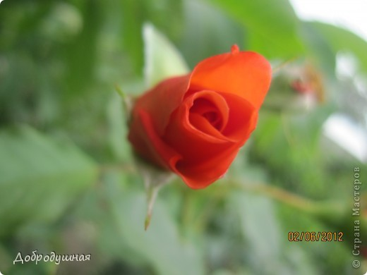 Поделюсь с вами красотой нашей дачи.... Жасмин в цвету. Ну и я рядом =) фото 19