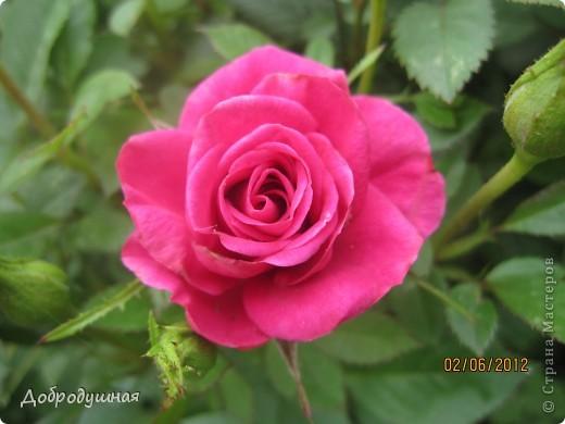 Поделюсь с вами красотой нашей дачи.... Жасмин в цвету. Ну и я рядом =) фото 20