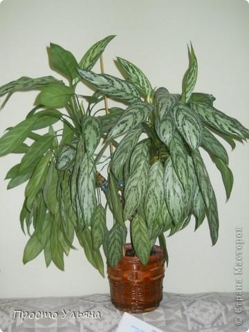 """Здравствуйте всем))Вот решила я показать вам зелёное окружение нашей семьи,моя мама очень любит цветы и я покажу вам её приёмных или уже даже как родных """"деток!!Ну что начнём!!!?Это фаленопсис, если просто то орхидея) фото 40"""