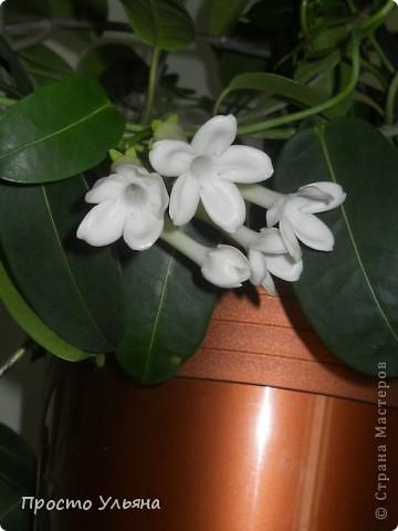 """Здравствуйте всем))Вот решила я показать вам зелёное окружение нашей семьи,моя мама очень любит цветы и я покажу вам её приёмных или уже даже как родных """"деток!!Ну что начнём!!!?Это фаленопсис, если просто то орхидея) фото 33"""