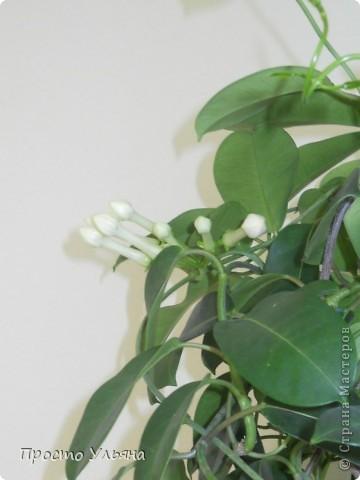 """Здравствуйте всем))Вот решила я показать вам зелёное окружение нашей семьи,моя мама очень любит цветы и я покажу вам её приёмных или уже даже как родных """"деток!!Ну что начнём!!!?Это фаленопсис, если просто то орхидея) фото 32"""