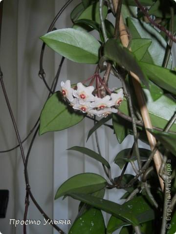 """Здравствуйте всем))Вот решила я показать вам зелёное окружение нашей семьи,моя мама очень любит цветы и я покажу вам её приёмных или уже даже как родных """"деток!!Ну что начнём!!!?Это фаленопсис, если просто то орхидея) фото 35"""