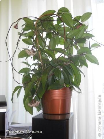 """Здравствуйте всем))Вот решила я показать вам зелёное окружение нашей семьи,моя мама очень любит цветы и я покажу вам её приёмных или уже даже как родных """"деток!!Ну что начнём!!!?Это фаленопсис, если просто то орхидея) фото 36"""