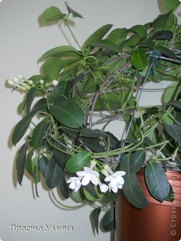 """Здравствуйте всем))Вот решила я показать вам зелёное окружение нашей семьи,моя мама очень любит цветы и я покажу вам её приёмных или уже даже как родных """"деток!!Ну что начнём!!!?Это фаленопсис, если просто то орхидея) фото 31"""