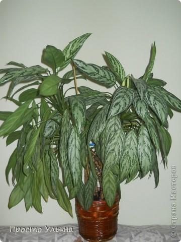 """Здравствуйте всем))Вот решила я показать вам зелёное окружение нашей семьи,моя мама очень любит цветы и я покажу вам её приёмных или уже даже как родных """"деток!!Ну что начнём!!!?Это фаленопсис, если просто то орхидея) фото 39"""