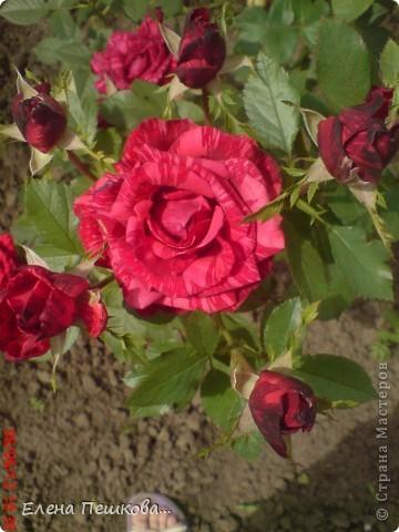 Вот такие цветы на моей даче. фото 2