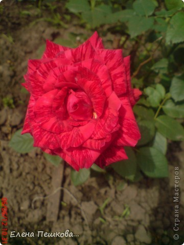 Вот такие цветы на моей даче. фото 3