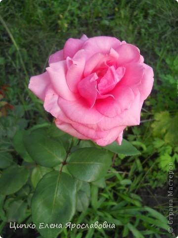 """Роза """" Чёрный принц """". фото 7"""