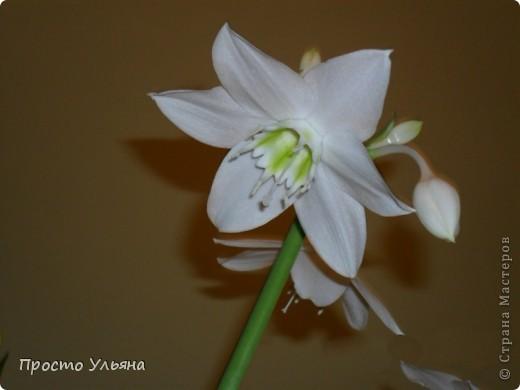 """Здравствуйте всем))Вот решила я показать вам зелёное окружение нашей семьи,моя мама очень любит цветы и я покажу вам её приёмных или уже даже как родных """"деток!!Ну что начнём!!!?Это фаленопсис, если просто то орхидея) фото 15"""