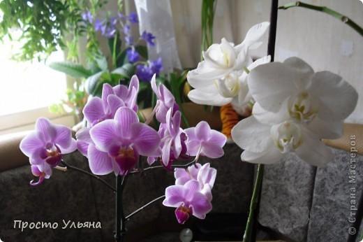"""Здравствуйте всем))Вот решила я показать вам зелёное окружение нашей семьи,моя мама очень любит цветы и я покажу вам её приёмных или уже даже как родных """"деток!!Ну что начнём!!!?Это фаленопсис, если просто то орхидея) фото 19"""