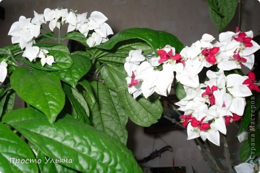 """Здравствуйте всем))Вот решила я показать вам зелёное окружение нашей семьи,моя мама очень любит цветы и я покажу вам её приёмных или уже даже как родных """"деток!!Ну что начнём!!!?Это фаленопсис, если просто то орхидея) фото 12"""