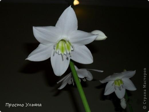 """Здравствуйте всем))Вот решила я показать вам зелёное окружение нашей семьи,моя мама очень любит цветы и я покажу вам её приёмных или уже даже как родных """"деток!!Ну что начнём!!!?Это фаленопсис, если просто то орхидея) фото 11"""