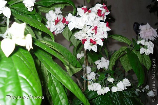 """Здравствуйте всем))Вот решила я показать вам зелёное окружение нашей семьи,моя мама очень любит цветы и я покажу вам её приёмных или уже даже как родных """"деток!!Ну что начнём!!!?Это фаленопсис, если просто то орхидея) фото 14"""