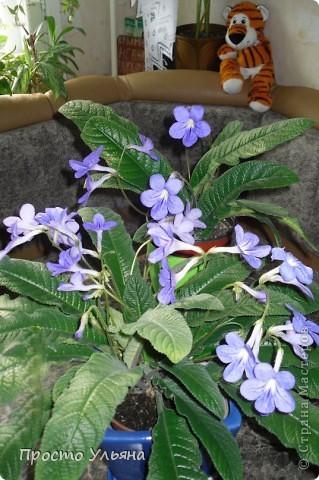 """Здравствуйте всем))Вот решила я показать вам зелёное окружение нашей семьи,моя мама очень любит цветы и я покажу вам её приёмных или уже даже как родных """"деток!!Ну что начнём!!!?Это фаленопсис, если просто то орхидея) фото 2"""