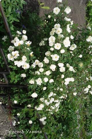 """Здравствуйте всем))Вот решила я показать вам зелёное окружение нашей семьи,моя мама очень любит цветы и я покажу вам её приёмных или уже даже как родных """"деток!!Ну что начнём!!!?Это фаленопсис, если просто то орхидея) фото 3"""