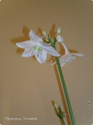 """Здравствуйте всем))Вот решила я показать вам зелёное окружение нашей семьи,моя мама очень любит цветы и я покажу вам её приёмных или уже даже как родных """"деток!!Ну что начнём!!!?Это фаленопсис, если просто то орхидея) фото 16"""
