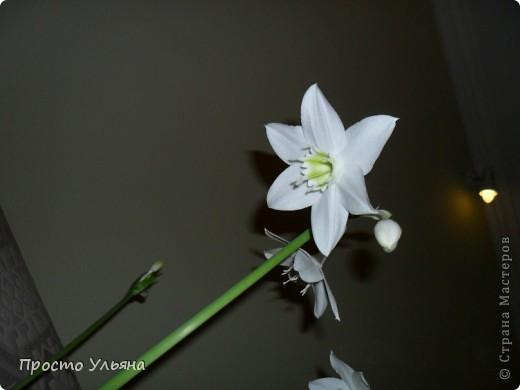 """Здравствуйте всем))Вот решила я показать вам зелёное окружение нашей семьи,моя мама очень любит цветы и я покажу вам её приёмных или уже даже как родных """"деток!!Ну что начнём!!!?Это фаленопсис, если просто то орхидея) фото 4"""