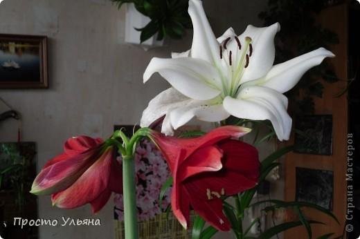 """Здравствуйте всем))Вот решила я показать вам зелёное окружение нашей семьи,моя мама очень любит цветы и я покажу вам её приёмных или уже даже как родных """"деток!!Ну что начнём!!!?Это фаленопсис, если просто то орхидея) фото 5"""