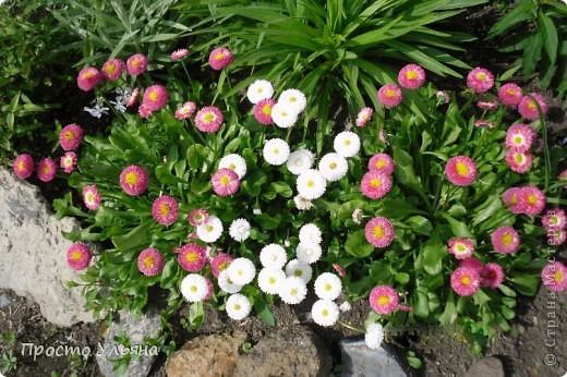 """Здравствуйте всем))Вот решила я показать вам зелёное окружение нашей семьи,моя мама очень любит цветы и я покажу вам её приёмных или уже даже как родных """"деток!!Ну что начнём!!!?Это фаленопсис, если просто то орхидея) фото 6"""