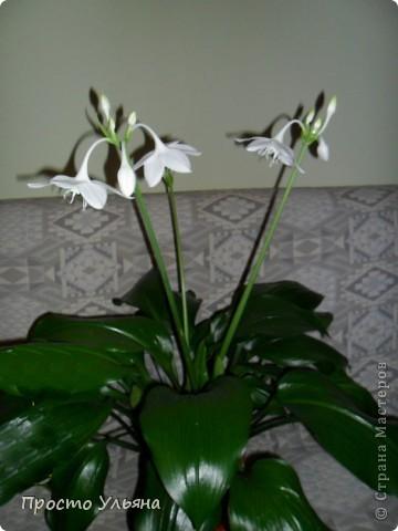 """Здравствуйте всем))Вот решила я показать вам зелёное окружение нашей семьи,моя мама очень любит цветы и я покажу вам её приёмных или уже даже как родных """"деток!!Ну что начнём!!!?Это фаленопсис, если просто то орхидея) фото 13"""
