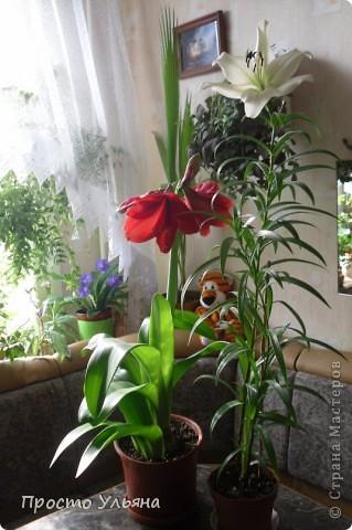"""Здравствуйте всем))Вот решила я показать вам зелёное окружение нашей семьи,моя мама очень любит цветы и я покажу вам её приёмных или уже даже как родных """"деток!!Ну что начнём!!!?Это фаленопсис, если просто то орхидея) фото 23"""
