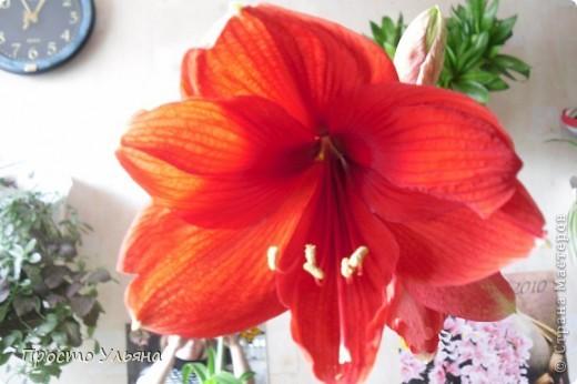 """Здравствуйте всем))Вот решила я показать вам зелёное окружение нашей семьи,моя мама очень любит цветы и я покажу вам её приёмных или уже даже как родных """"деток!!Ну что начнём!!!?Это фаленопсис, если просто то орхидея) фото 24"""
