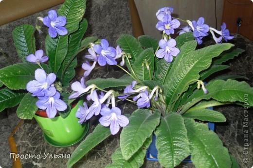 """Здравствуйте всем))Вот решила я показать вам зелёное окружение нашей семьи,моя мама очень любит цветы и я покажу вам её приёмных или уже даже как родных """"деток!!Ну что начнём!!!?Это фаленопсис, если просто то орхидея) фото 26"""