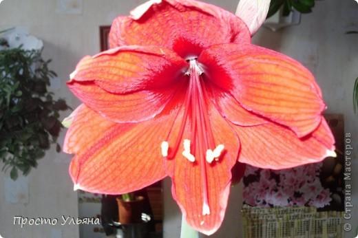"""Здравствуйте всем))Вот решила я показать вам зелёное окружение нашей семьи,моя мама очень любит цветы и я покажу вам её приёмных или уже даже как родных """"деток!!Ну что начнём!!!?Это фаленопсис, если просто то орхидея) фото 25"""