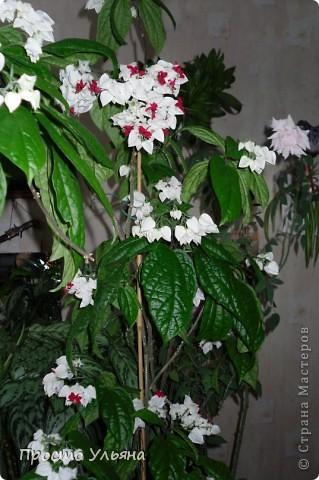 """Здравствуйте всем))Вот решила я показать вам зелёное окружение нашей семьи,моя мама очень любит цветы и я покажу вам её приёмных или уже даже как родных """"деток!!Ну что начнём!!!?Это фаленопсис, если просто то орхидея) фото 29"""