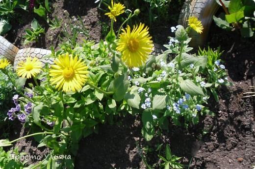 """Здравствуйте всем))Вот решила я показать вам зелёное окружение нашей семьи,моя мама очень любит цветы и я покажу вам её приёмных или уже даже как родных """"деток!!Ну что начнём!!!?Это фаленопсис, если просто то орхидея) фото 30"""