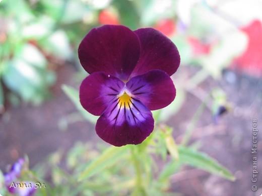 """Отдыхала на даче и решила сфотографировать свои цветочки, и немного увлеклась)   Макро мир - """"Анютины глазки""""  фото 1"""