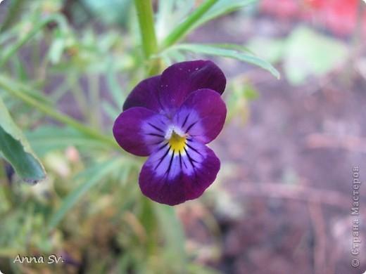 """Отдыхала на даче и решила сфотографировать свои цветочки, и немного увлеклась)   Макро мир - """"Анютины глазки""""  фото 2"""