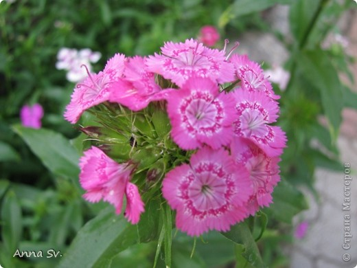 """Отдыхала на даче и решила сфотографировать свои цветочки, и немного увлеклась)   Макро мир - """"Анютины глазки""""  фото 5"""