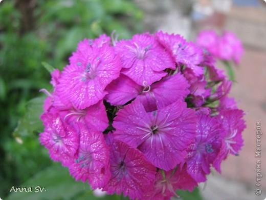 """Отдыхала на даче и решила сфотографировать свои цветочки, и немного увлеклась)   Макро мир - """"Анютины глазки""""  фото 6"""