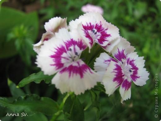 """Отдыхала на даче и решила сфотографировать свои цветочки, и немного увлеклась)   Макро мир - """"Анютины глазки""""  фото 7"""