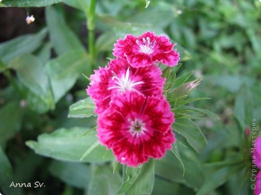 """Отдыхала на даче и решила сфотографировать свои цветочки, и немного увлеклась)   Макро мир - """"Анютины глазки""""  фото 8"""