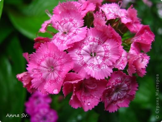 """Отдыхала на даче и решила сфотографировать свои цветочки, и немного увлеклась)   Макро мир - """"Анютины глазки""""  фото 11"""