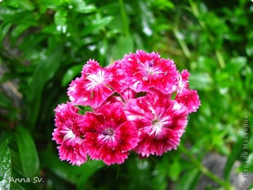 """Отдыхала на даче и решила сфотографировать свои цветочки, и немного увлеклась)   Макро мир - """"Анютины глазки""""  фото 12"""