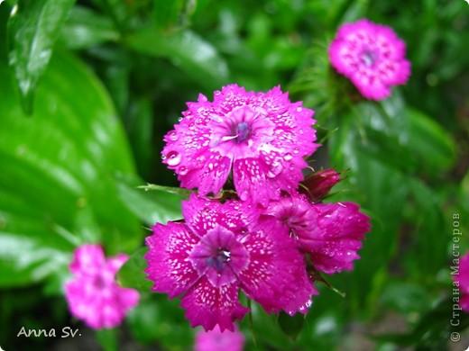 """Отдыхала на даче и решила сфотографировать свои цветочки, и немного увлеклась)   Макро мир - """"Анютины глазки""""  фото 15"""