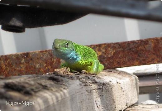 Всем добрый день! Этоа красавица живет у нас возле курятника.  Иногда выходит погреться на солнышко и разрешает повести фотосессию. Дальше просто фото. Любуйтесь! фото 6