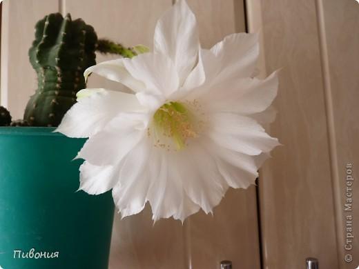 Уже второй год подряд мой кактус радует меня своим цветением! Еще вчера он был такой.... фото 3