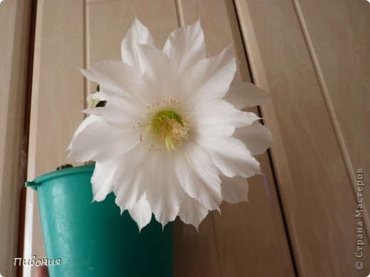 Уже второй год подряд мой кактус радует меня своим цветением! Еще вчера он был такой.... фото 4