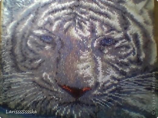 Белый тигр фото 2