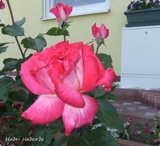3дравствуйте, здравствуйте все!!!!У нас наконец кончились дожди и я сфотографировала новую работу в технике пейп -арт - автор Таня Сорокина.    http://stranamasterov.ru/user/151613   Сегодня у меня тарелочка с розами.... фото 9